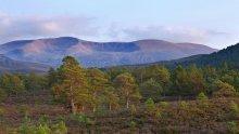 Scots Pine - Cairngorms National Park