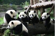 Giant Panda Tour