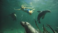 Swimming with Sea Lions, Eyre Peninsula