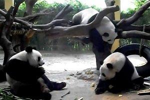 Chimelong Pandas